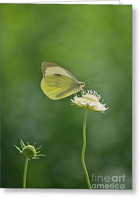Little Butterfly Greeting Card by Angela Doelling AD DESIGN Photo and PhotoArt