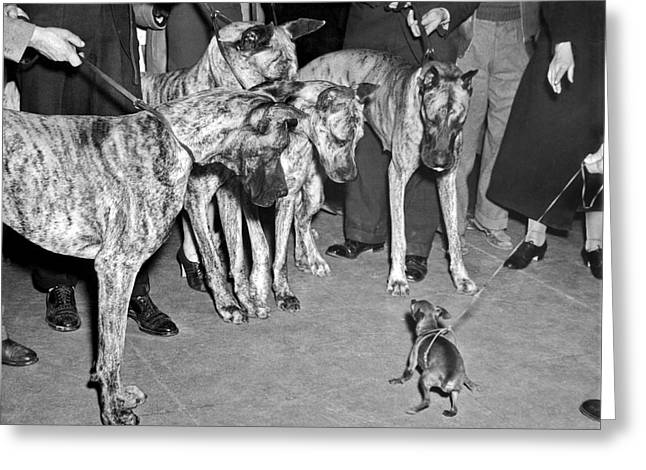 Little Dog Meets Big Dogs Greeting Card by Underwood Archives