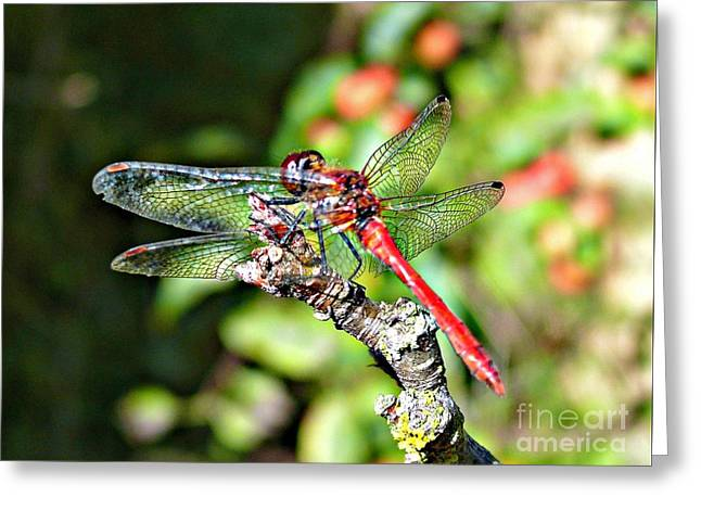 Greeting Card featuring the photograph Little Dragonfly by Morag Bates