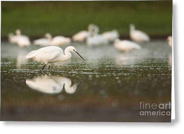 Little Egret Egretta Garzetta Greeting Card by Alon Meir