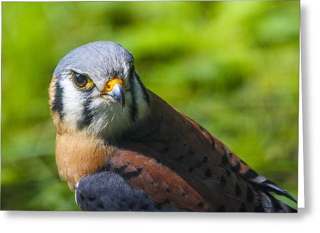 Little Falcon Greeting Card