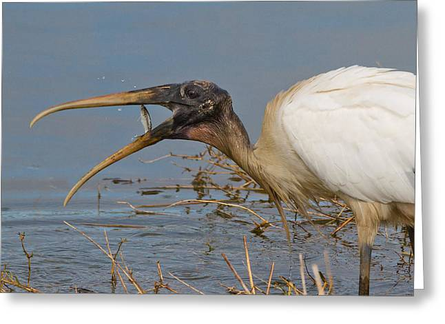 Little Fish Stands Up To A Wood Stork Greeting Card by Phil Stone