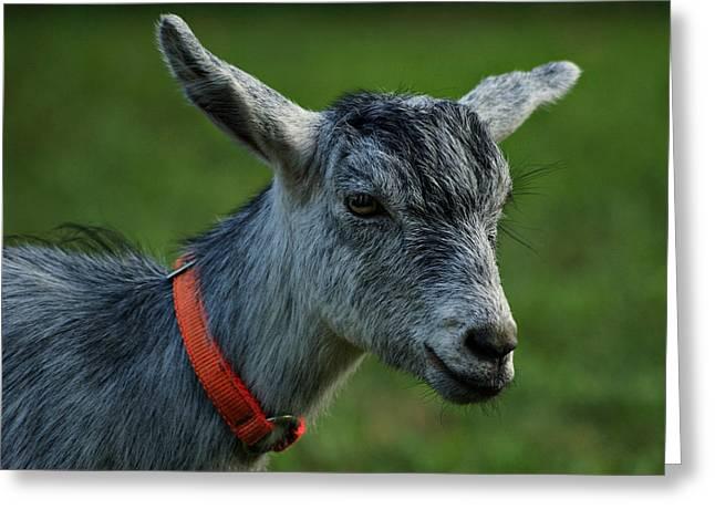 Little Goat Greeting Card by Sandy Keeton