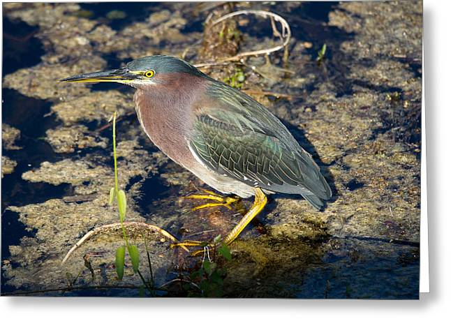 Little Green Heron Greeting Card by Phil Stone