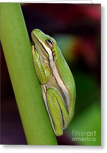 Greeting Card featuring the photograph Little Green Tree Frog by Kathy Baccari