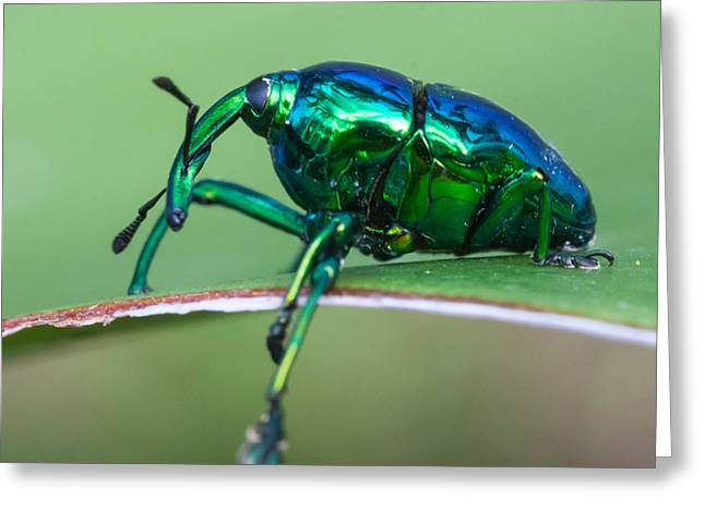 Little Green Weevil Greeting Card by Craig Lapsley