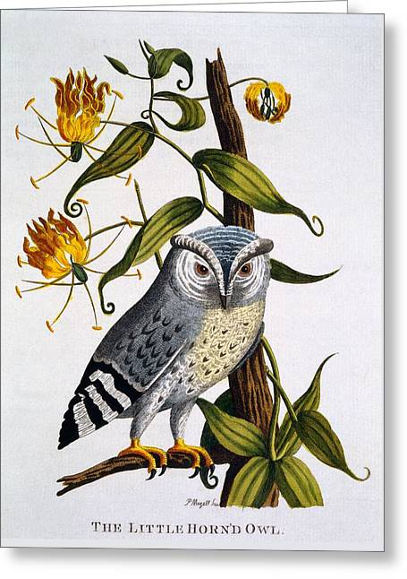 Little Horned Owl, From Indian Zoology Greeting Card