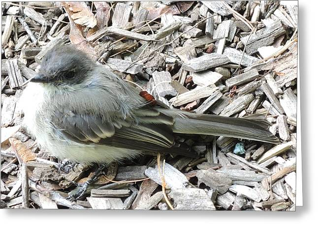 Little Junco Greeting Card by Chrissey Dittus