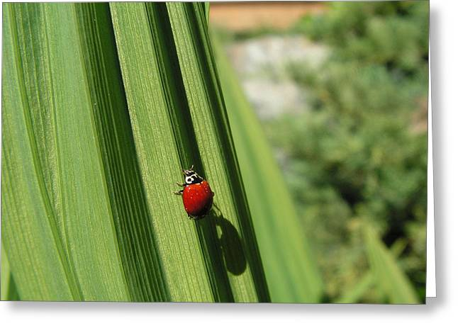 Greeting Card featuring the photograph Ladybird by Cheryl Hoyle