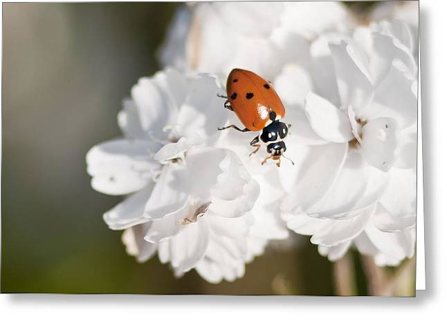 Little Ladybug On Baby's Breath Greeting Card