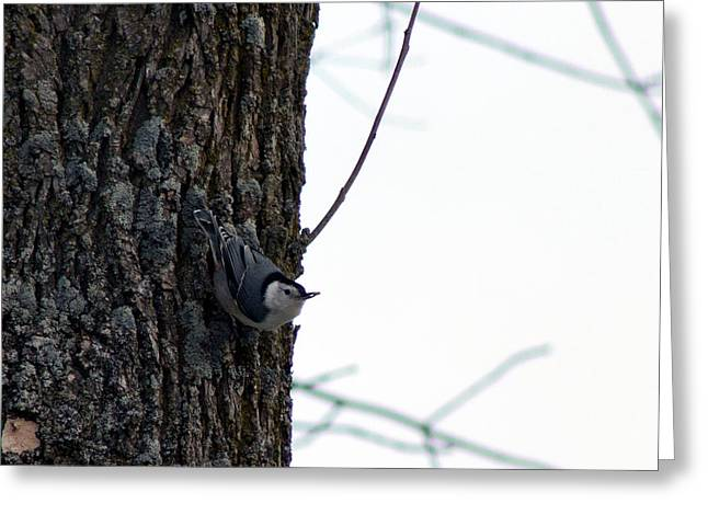 Little Nuthatch Greeting Card by Rhonda Humphreys