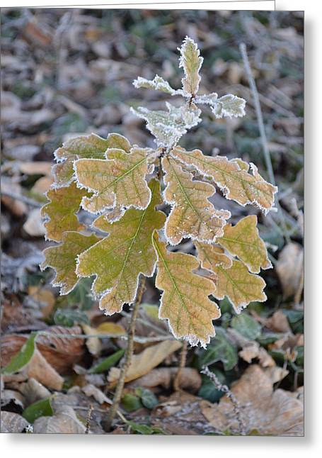 Greeting Card featuring the photograph Little Oak by Felicia Tica