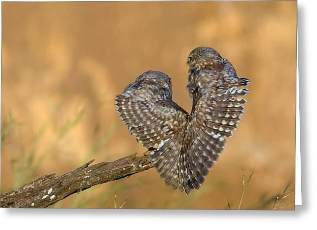 Little Owl Athene Noctua Couple Greeting Card
