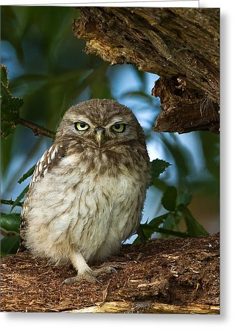 Greeting Card featuring the photograph Little Owl by Paul Scoullar