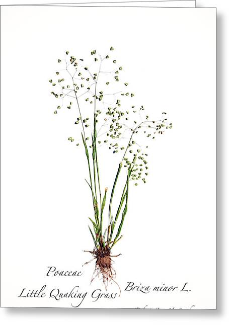 Little Quaking Grass Greeting Card