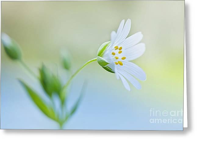 Little Stitchwort Greeting Card by Jacky Parker