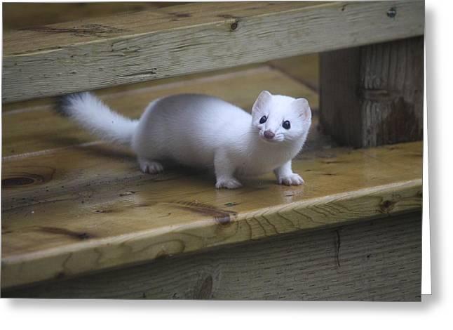 Little White Ferret Greeting Card