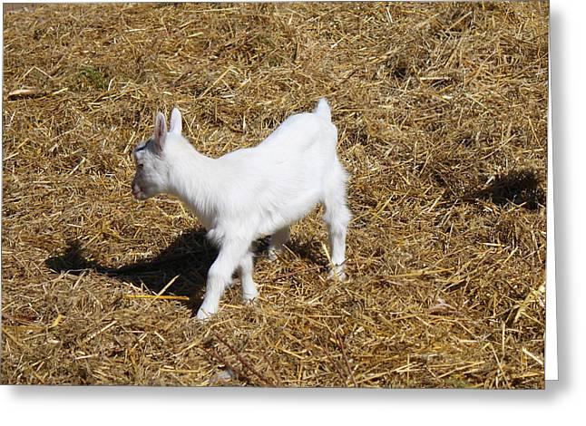 Little White Goat Greeting Card by Carolyn Ricks