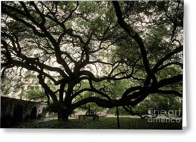 Live Oak At The Alamo, Texas Greeting Card