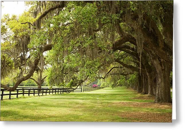 Live Oak Trees In Charleston Greeting Card
