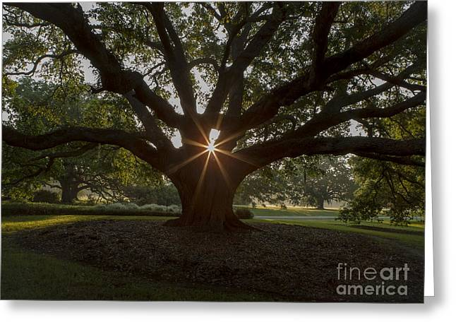 Live Oak With Early Morning Light Greeting Card by Kelly Morvant