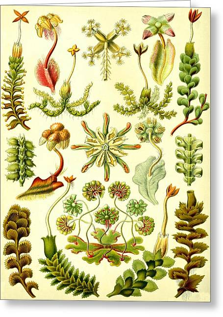 Liverworts Moss Brunnenlebermoos Haeckel Hepaticae Greeting Card