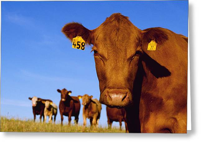 Livestock - Closeup Of A Red Angus Cow Greeting Card