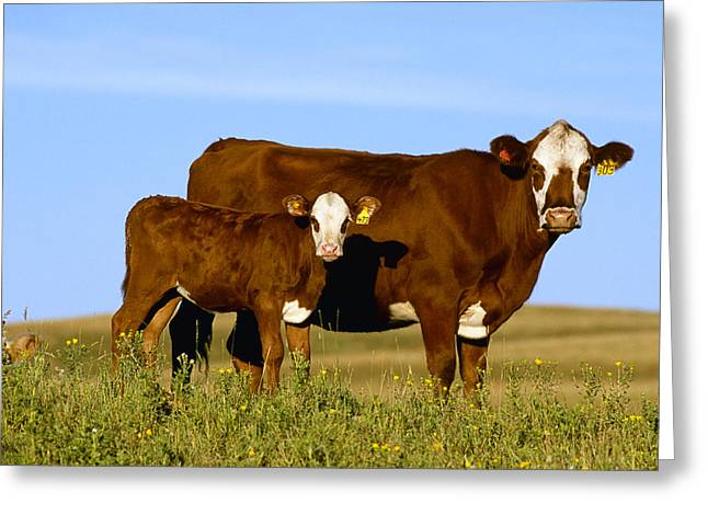 Livestock - Crossbred Cow And Calf Greeting Card