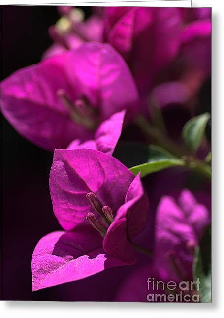 Living With Bougainvillea Greeting Card by Joy Watson