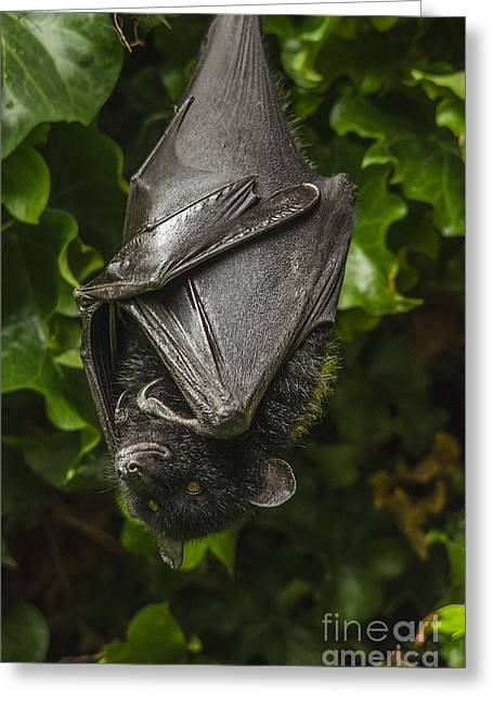 Livingstone's Fruit Bat Greeting Card by Darren Wilkes