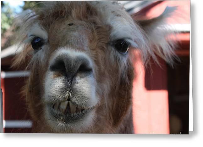 Llama After A Rough Night Greeting Card by John Telfer