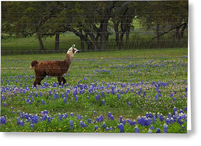 Greeting Card featuring the photograph Llama In Bluebonnets by Susan Rovira