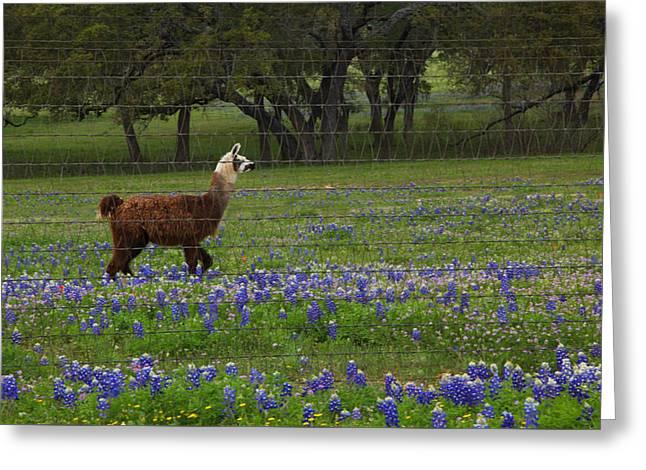 Llama In Bluebonnets Greeting Card