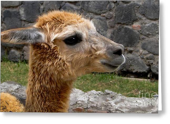 Llama Profile In Guano Ecuador Greeting Card by Al Bourassa