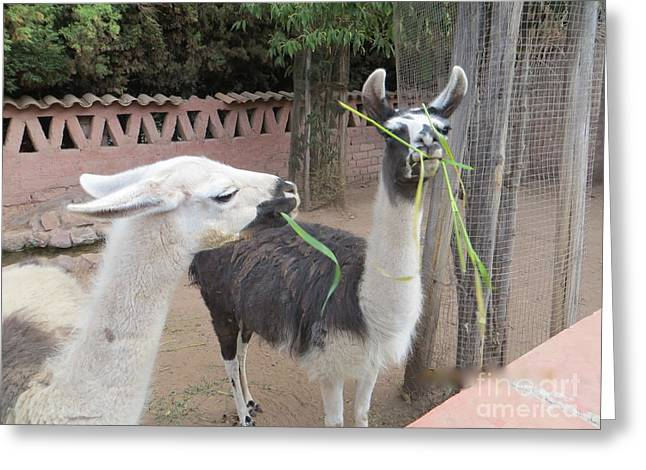Llamas In Peru Greeting Card