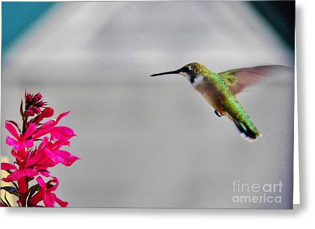 Lobelia And Hummingbird Greeting Card by Judy Via-Wolff