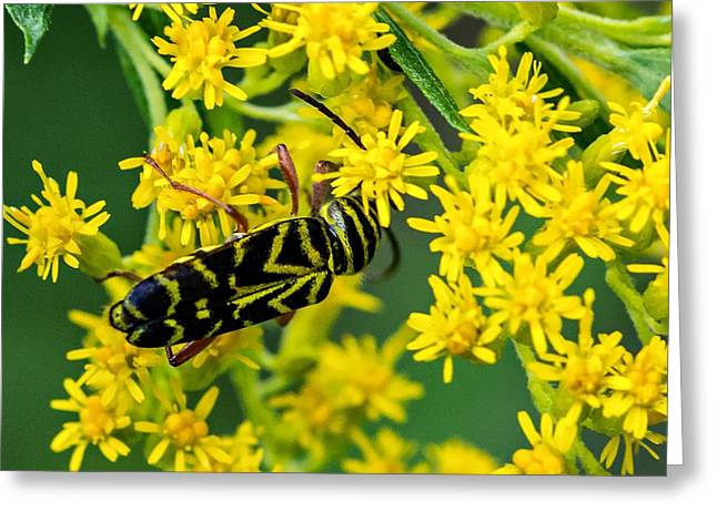 Locust Borer Beetle Greeting Card by Steve Harrington