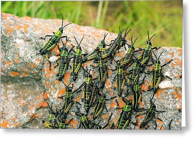 Locusts On A Rock Greeting Card