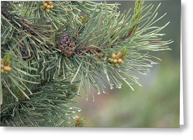 Lodge Pole Pine In The Fog Greeting Card