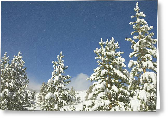 Lodgepole Pines In The Wind Greeting Card