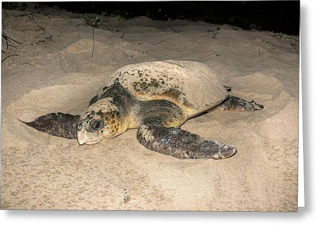 Loggerhead Turtle Covering Its Nest Greeting Card