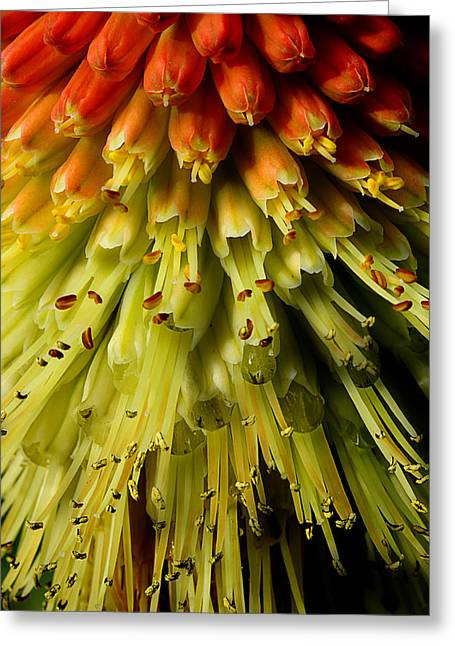 Lola Red Hot Poker Greeting Card by Michael Eingle