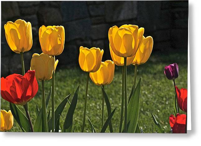 Lollipop Tulips And Grass And Stone Wall Greeting Card by Byron Varvarigos