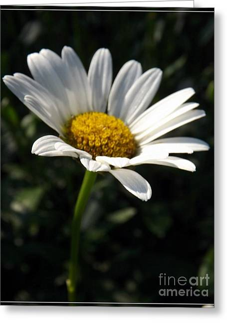 Lone Daisy Greeting Card