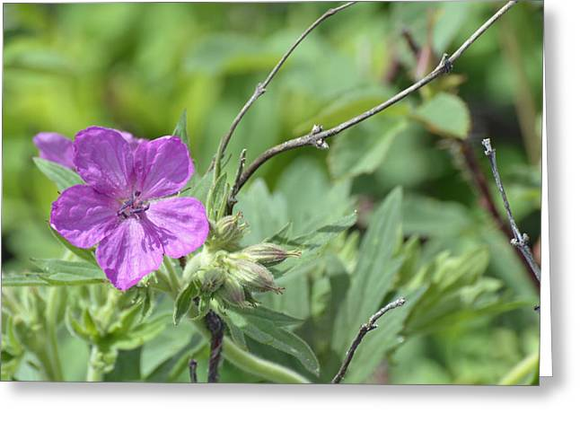 Lone Geranium In Yellowstone Greeting Card by Bruce Gourley