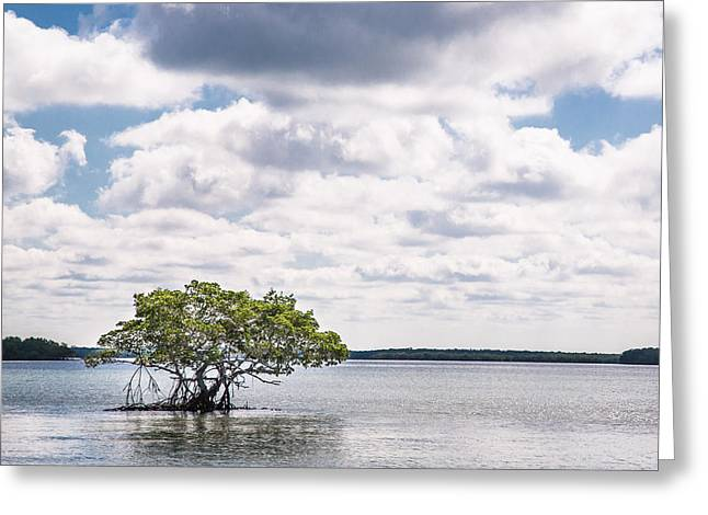 Lone Mangrove Greeting Card by Adam Pender