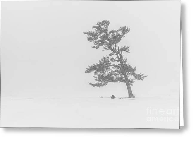 Lone Pine Tree In A Blizzard Greeting Card