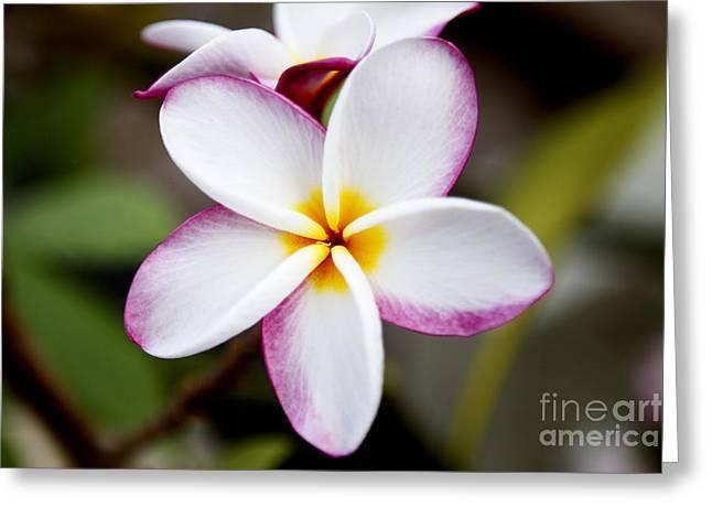 Lone Plumeria Greeting Card by Thanh Tran