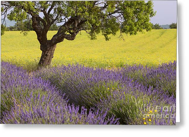 Lone Tree In Provence Greeting Card by Brian Jannsen