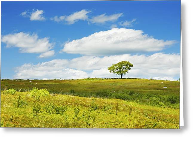 Lone Tree With Blue Sky In Blueberry Field Maine Photograph  Greeting Card by Keith Webber Jr